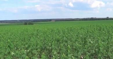плантация конопли