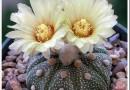 ТОП-11 красивых видов Астрофитума с фото, а также описание и уход в домашних условиях. Узнайте, как не погубить растение
