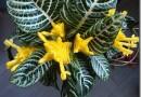 Цветок Афеландра — всё об уходе в домашних условиях, фото и описание растения, размножение, обрезка, пересадка