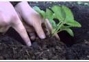 Как правильно сажать рассаду клубники