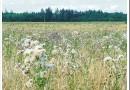 Какие сорняки угрожают росту пшеницы и ячменя и какие гербициды используются для их обработки?