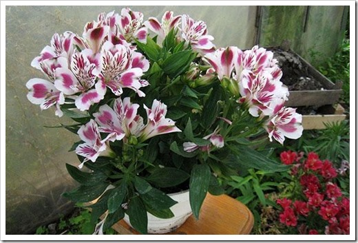 Альстрёмерия – лилия инков